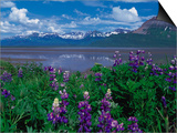 Arctic Lupin, Alaska, USA Plakater af Dee Ann Pederson