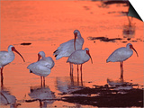 Charles Sleicher - White Ibis, Ding Darling National Wildlife Refuge, Sanibel Island, Florida, USA Umění