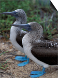 Blue-Footed Boobies of the Galapagos Islands, Ecuador Affiches par Stuart Westmoreland