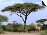 Southern Giraffe and Acacia Tree, Okavango Delta, Botswana Kunst af Pete Oxford
