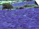 Lavender Field and Almond Tree, Provance, France Prints by David Barnes