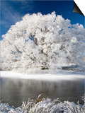 Hoar Frost on Willow Tree, near Omakau, Central Otago, South Island, New Zealand Art by David Wall