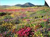 Wildflowers Near Lake Cuyamaca and Stonewall Peak, Cuyamaca Rancho State Park, California, USA Prints by Christopher Talbot Frank