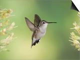 Black-Chinned Hummingbird in Flight Feeding on Texas Buckeye, Uvalde County, Hill Country Prints by Rolf Nussbaumer