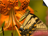Eastern Tiger Swallowtail Butterfuly Feeding on Orange Tiger Lily, Vienna, Virginia, USA Prints by Corey Hilz