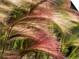 Foxtail Barley, Banff NP, Alberta, Canada Prints by Stuart Westmorland
