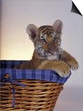 Siberian Tiger Cub Plakaty autor Maresa Pryor