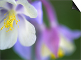 Colorado Columbine Flower, Colorado, USA Poster by Julie Eggers