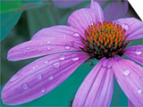 Purple Cone Flower with Water Drops Art by Brent Bergherm