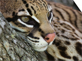 Ocelot Female Resting on Mesquite Tree, Welder Wildlife Refuge, Sinton, Texas, USA Prints by Rolf Nussbaumer