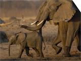 African Elephants, Makalolo Plains, Hwange National Park, Zimbabwe Posters by Pete Oxford