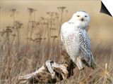 A Snowy Owl (Bubo Scandiacus) Sits on a Perch at Sunset, Damon Point, Ocean Shores, Washington, USA Art by Gary Luhm