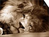 Whipsnade Hayvanatbahçesinde Tek Gözü Açık Uyuyan Aslan, Mart, 1959 - Tablo
