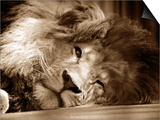 León durmiendo con un ojo abierto en el Zoo Whipsnade , Marzo 1959 Póster