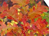 Red Oak Leaves, Colorado, USA Print by Julie Eggers