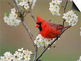 Male Northern Cardinal Among Pear Tree Blossoms, Kentucky Prints by Adam Jones