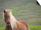Islandic Horse with Flowing Light Colored Mane, Iceland Prints by Joan Loeken