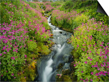 Pink Monkey Flowers Growing Along Stream, Mount Rainier National Park, Washington, USA Prints by Stuart Westmoreland