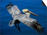 Charles Sleicher - Male Brown Pelican in Breeding Plumage, Mexico Plakát
