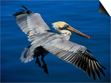 Male Brown Pelican in Breeding Plumage, Mexico Posters by Charles Sleicher