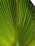 Palm Frond, Nadi, Viti Levu, Fiji, South Pacific Prints by David Wall