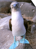 Blue Footed Booby, Galapagos Islands, Ecuador Affiche par Gavriel Jecan