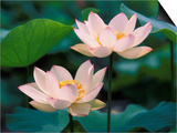 Lotus Flower in Blossom, China Prints by Keren Su