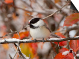 Adult Black-capped Chickadee in Snow, Grand Teton National Park, Wyoming, USA Prints by Rolf Nussbaumer