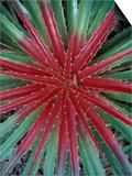 Cactus Detail, Chrstoffel National Park, Curacao, Caribbean Poster von Robin Hill