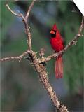 Northern Cardinal, Texas, USA Plakater af Dee Ann Pederson