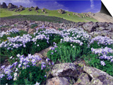 Mountains and Wildflowers, Ouray, San Juan Mountains, Rocky Mountains, Colorado, USA Poster by Rolf Nussbaumer