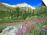 Meadow of Fireweed in Mt. Sneffels Wilderness Area, Colorado, USA Posters by Julie Eggers