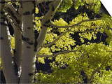 Quaking Aspen in Fall, Rocky Mountain National Park, Colorado, USA Prints by Rolf Nussbaumer