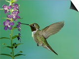 Hummingbird Feeding on Purple Angelonia, Paradise, Chiricahua Mountains, Arizona, USA Posters by Rolf Nussbaumer