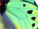 Poseidon (Green Butterfly), Papua New Guinea Print by Gavriel Jecan