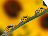 Black Eyed Susans Refracted in Dew Drops on Blade of Grass Poster by Adam Jones