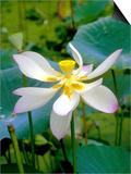 Lily Blossom, Barbados, Caribbean Kunstdruck von Robin Hill