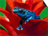 Blue Poison Dart Frog, Surinam Art by Adam Jones