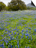 Bluebonnets and Oak Tree, Hill Country, Texas, USA Posters by Alice Garland