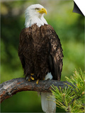 Bald Eagle Perching in a Pine Tree, Flathead Lake, Montana, Usa Art by Rebecca Jackrel