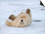 Polar Bear Cub Rolling Around, Arctic National Wildlife Refuge, Alaska, USA Prints by Steve Kazlowski