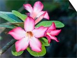 Exotic Tropical Blooms, St John, United States Virgin Islands, USA, US Virgin Islands, Caribbean Posters par Trish Drury