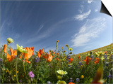 Poppies and Desert Dandelion Spring Bloom, Lancaster, Antelope Valley, California, USA Prints by Terry Eggers
