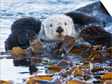 Sea Otter, San Luis Obispo County, California, USA Prints by Cathy & Gordon Illg
