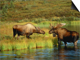Moose Standing by Wonder Lake, Denali National Park, Alaska, USA Prints by Hugh Rose