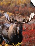 Bull Moose in Tundra, Denali National Park, Alaska, USA Poster by Hugh Rose