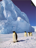 Emperor Penguins, Cape Darnley, Australian Antarctic Territory, Antarctica Prints by Pete Oxford