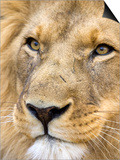 Male Lion at Africat Project, Namibia Posters by Joe Restuccia III
