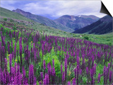 Wildflowers in Alpine Meadow, Ouray, San Juan Mountains, Rocky Mountains, Colorado, USA Prints by Rolf Nussbaumer