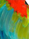 Scarlet Macaw (Ara Macao), Argentina Posters by Andres Morya Hinojosa